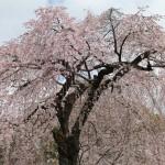 春には桜を楽しもう!京都の醍醐寺、京都府立植物園で桜をみてきた